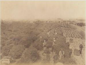 Tea Plantation at Uji, Yamashiro, Japan. c1880