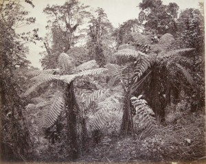 Group of Tree Ferns, Lebong