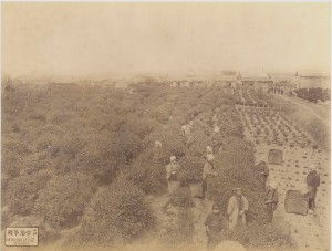 Tea Plantation at Uji, Yamashiro, Japan. c1880