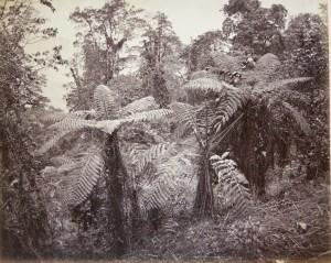 Group of Tree Ferns, Lebong